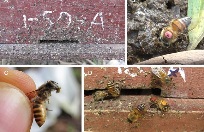 Азиатские пчелы обмазывают гнезда фекалиями животных для защиты от шершней