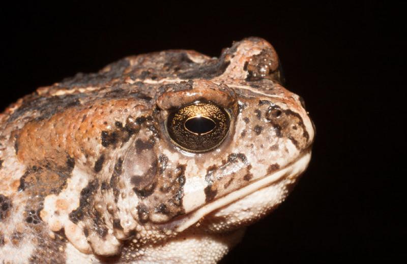 Сто лет островной жизни уменьшили размеры африканских жаб