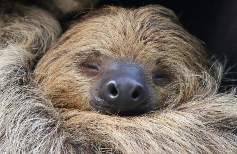 10 невероятных фактов о ленивцах
