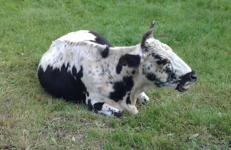 Якутские коровы приспособились к холодам за счет древних генов и новой мутации