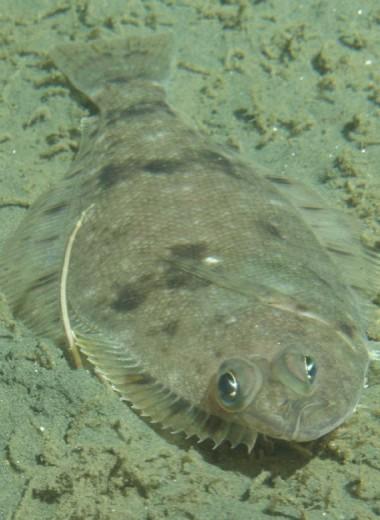 Как видеть дно, если ты плоская рыба?