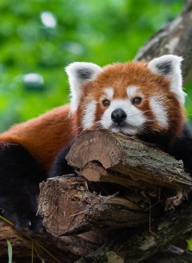 Вымирающих красных панд будут отслеживать с помощью GPS-ошейников