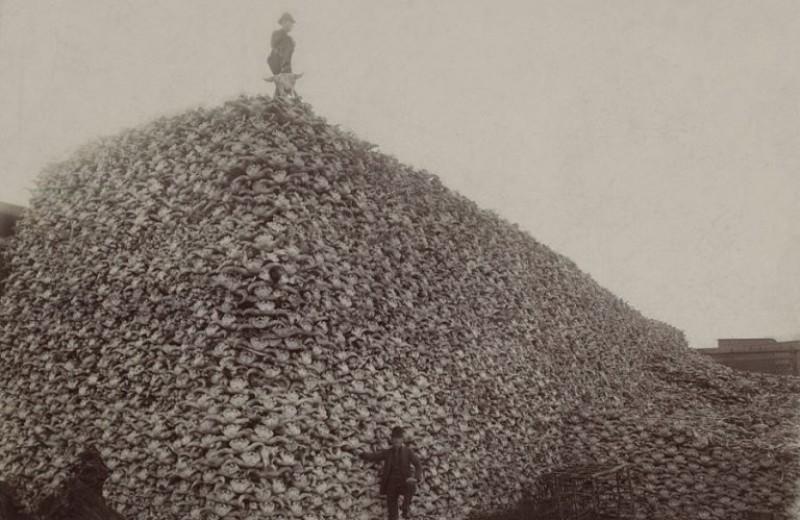 Америка без бизонов: как бесконтрольная охота почти уничтожила целый вид