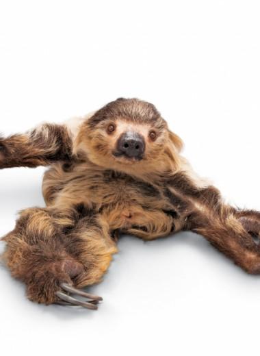 Любовь медлительных ленивцев
