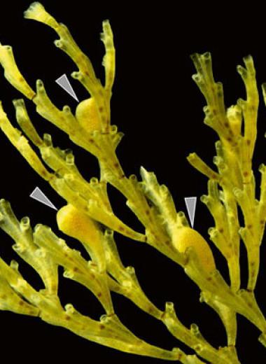 У мшанок обнаружили уникальный тип строения плаценты