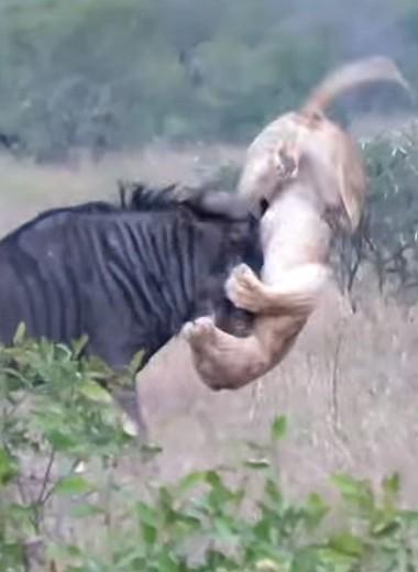 Антилопа гну сражается с львицами: видео