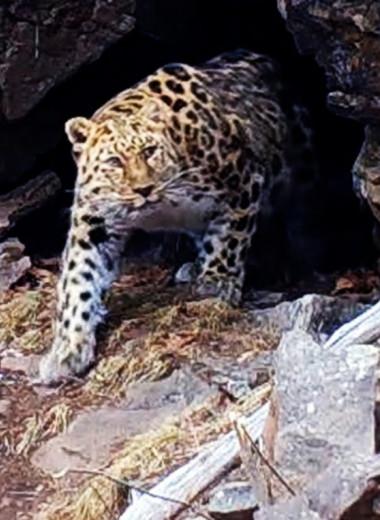 Пещерный обед амурского леопарда попал на видео в Приморье
