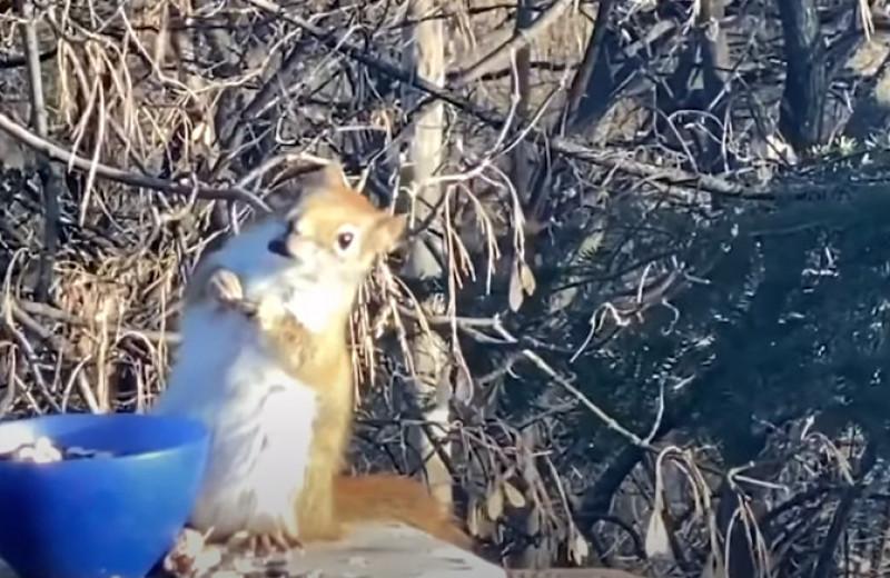 Белка опьянела, наевшись перебродивших груш: видео