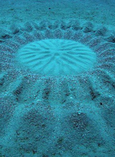 На морском дне у берегов Австралии нашли узоры. Вероятно, их делает рыба из семейства иглобрюхих