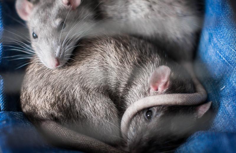 Что такое «биоэтика», и зачем ученые просят разрешение для проведения опытов на крысах