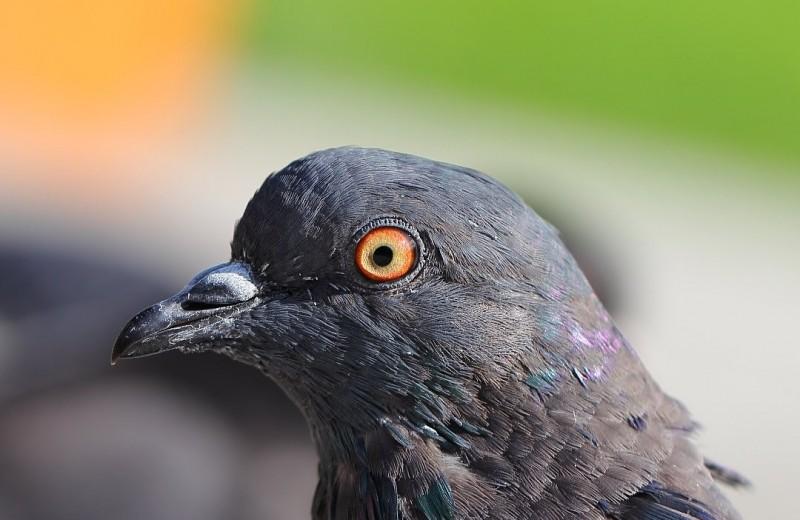 Удивительное зрение голубей