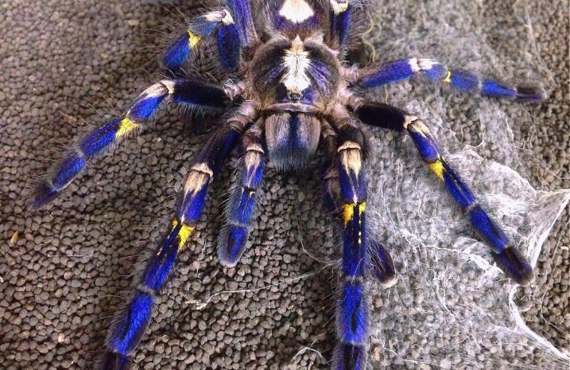 В чем секрет цветных пауков-птицеедов?