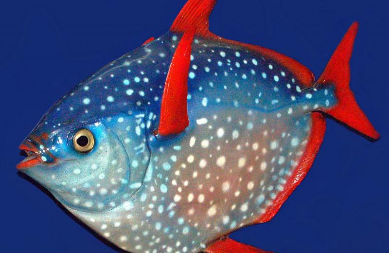 Не все рыбы холоднокровны. Теперь известно почему