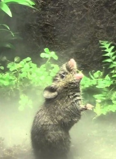 Поющие мыши: зачем они это делают?