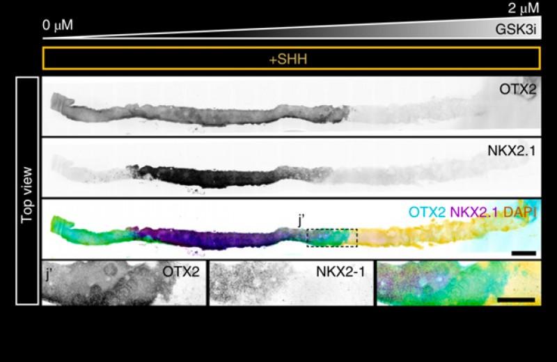 Микрофлюидика помогла смоделировать эмбриональное развитие нервной трубки