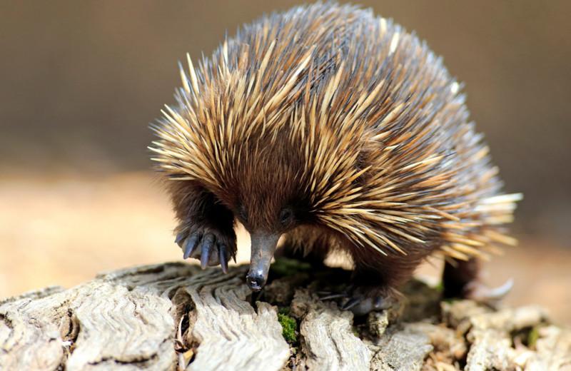 Гремучая смесь: самое удивительное животное Австралии