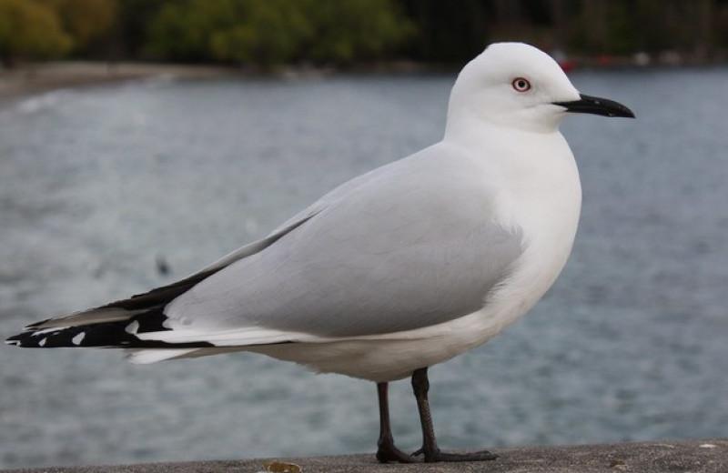 Редкие новозеландские чайки помешали строительству католического собора