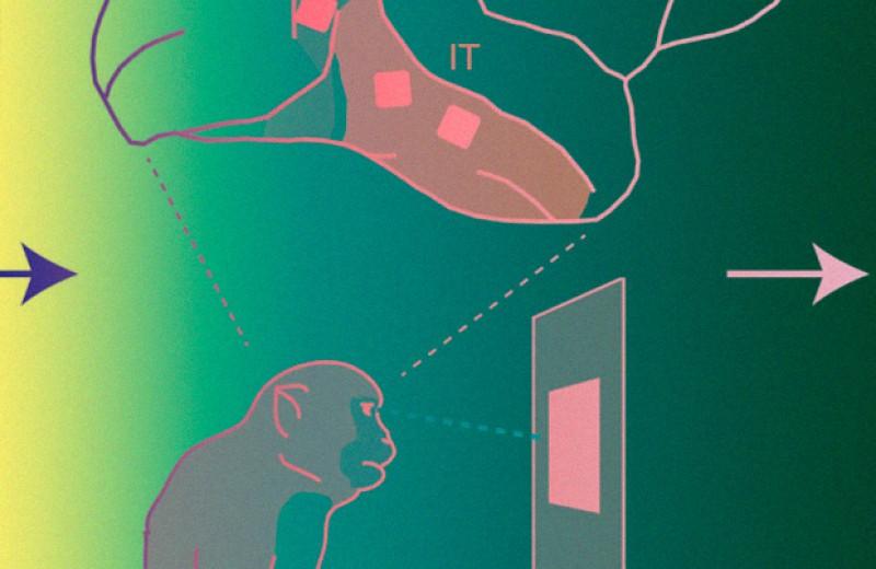 Нижняя височная область мозга макак-резусов смогла отличить разные слова и буквы