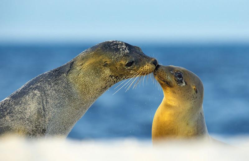 Тюлени: семейные обстоятельства