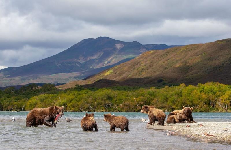 Слишком много медведей: на Камчатке предлагают начать отстрел обитателей Кроноцкого заповедника