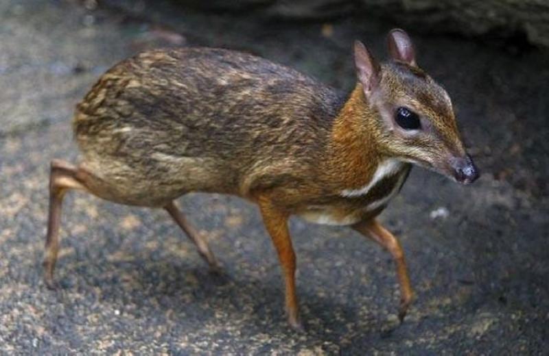 Малый оленёк: самое маленькое парнокопытное