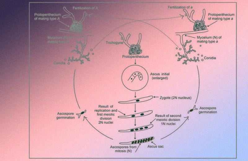 Микроскопический жароустойчивый гриб оказался чемпионом мутаций