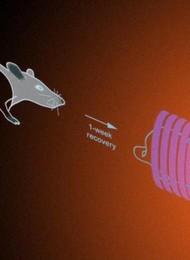 Магнитные наночастицы отрегулировали работу надпочечников крыс