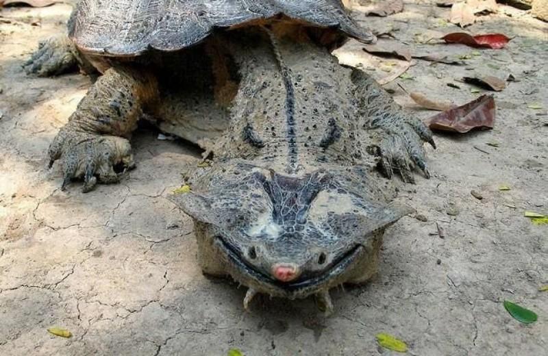 Обнаружен новый вид самой причудливой черепахи на свете