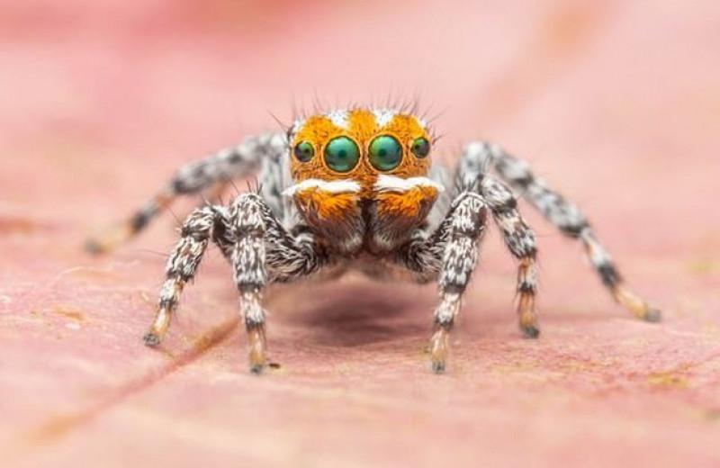 В поисках Немо: новый вид паука-павлина назвали в честь героя мультфильма Pixar