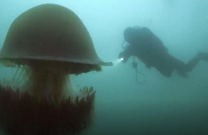 В чем секрет яда гигантской медузы?