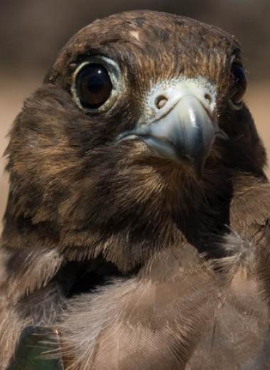 Зачем соколы летают зигзагами: новое исследование