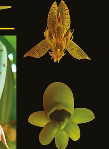 Мужские иженские цветки орхидеи запахли по-разному ради пчел