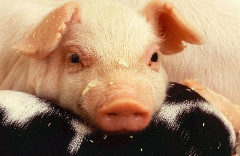 Ученым удалось частично оживить мозг умершей свиньи – и это сенсация
