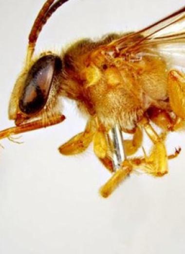Австралийских пчел застали за ночным кормлением