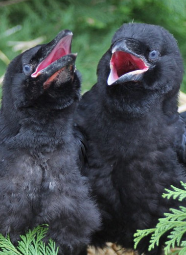 4-месячные вороны не уступили в когнитивных способностях взрослым приматам: видео