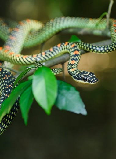 Рожденный ползать и летать: необычные способности летающих змей