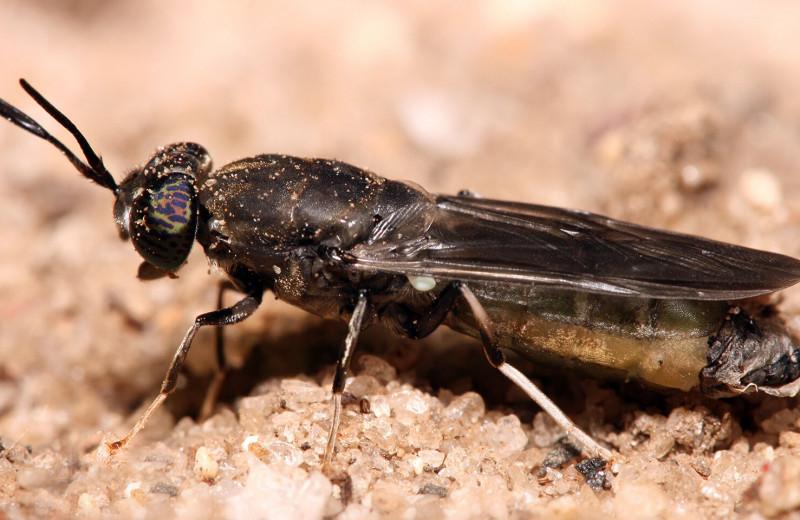 Экстракт из личинок мух эффективен в борьбе с патогенами растений