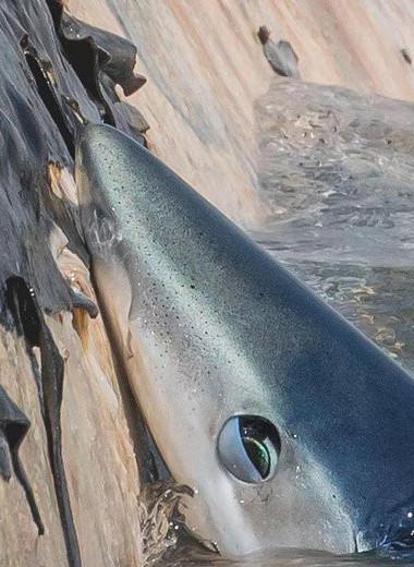 Акулы пируют на туше погибшего финвала: видео