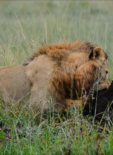 Раскопки как тактика львиной охоты: видео