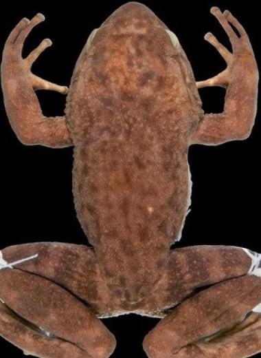 Считавшуюся вымершей бразильскую лягушку переоткрыли с помощью экзогенной ДНК