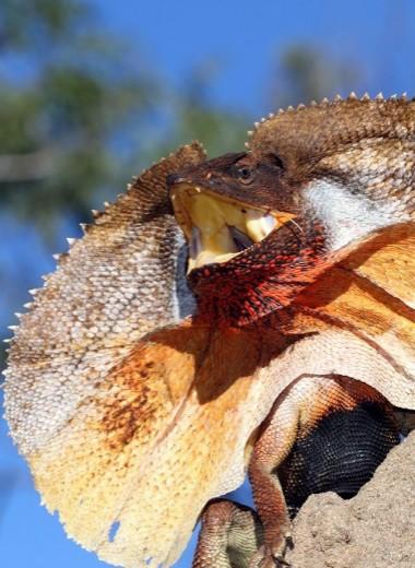 Ящерица пугает врага: видео
