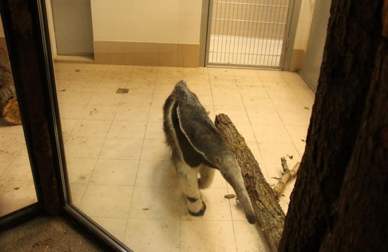 У муравьеда Лектора в Калининградском зоопарке появилась подруга