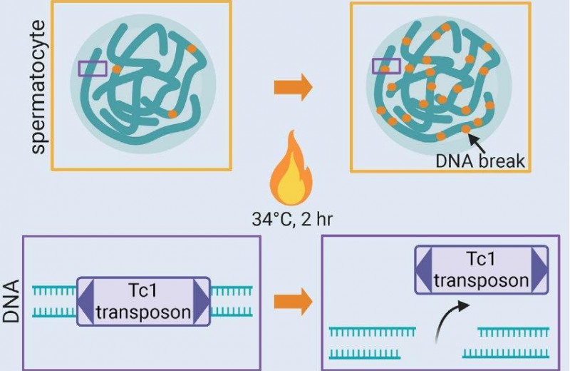Высокая температура повредила ДНК сперматоцитов
