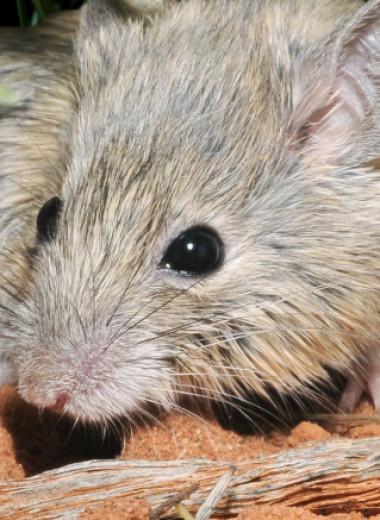 Мышь, которая считалась исчезнувшей, нашлась под другим именем