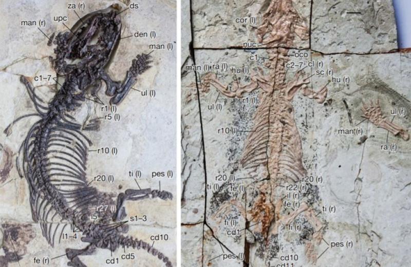 Млекопитающее и цинодонт из раннего мела Китая независимо освоили роющий образ жизни