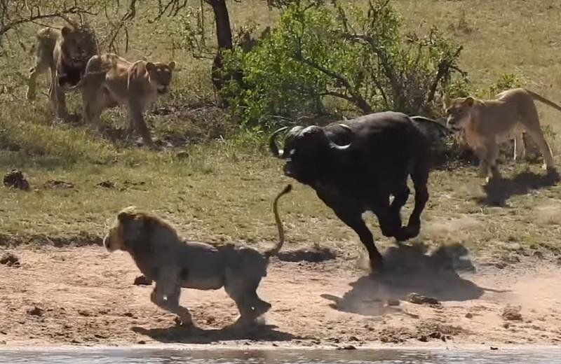 Стадо буйволов спасает собрата от гибели в лапах львов: видео