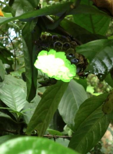 Общественные осы построили флуоресцирующие гнезда