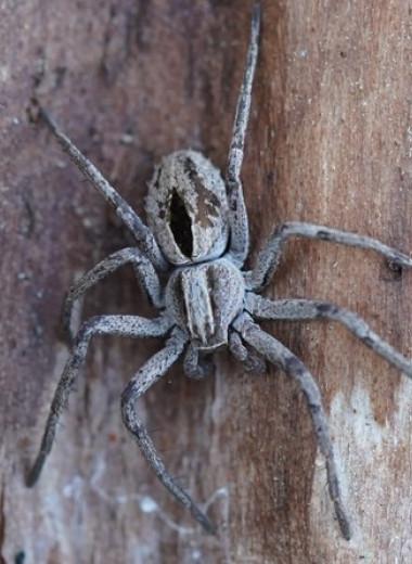 Самцы пауков-филодромид перед спариванием обездвижили самок ядом и связали паутиной