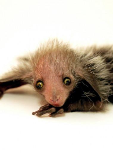В зоопарке Денвера родилась руконожка: видео