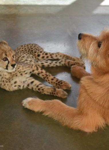 Собака воспитывает гепарда, оставленного матерью: видео